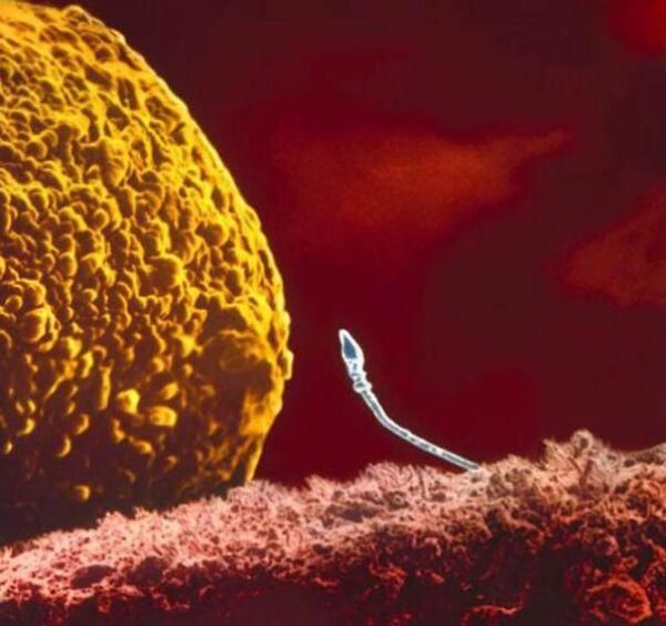 Comment la vie commence dans l'utérus