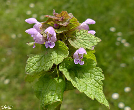 Lamium purpureum - lamier pourpre