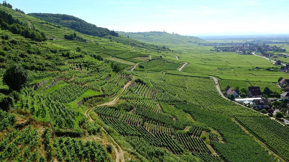 La vigne contribue quasiment pour moitié à la valeur économique tirée de l'agriculture en Alsace.
