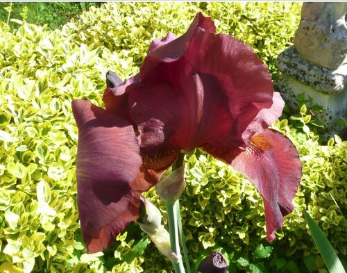 Iris en mai...Colette..