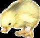 Petit Canard Clopin-Clopant  de  Marcelle Geneste.