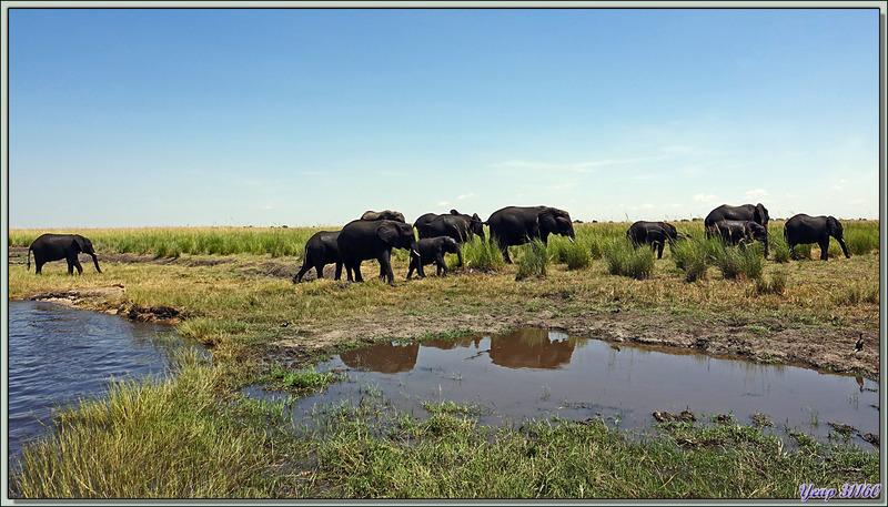 Après avoir traversé, les éléphants poursuivent tranquillement leur route, un mâle, que le bain n'a pas rafraîchi, est en grande forme ! - Safari nautique - Parc National de Chobe - Botswana