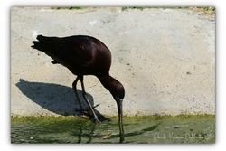 Ibis falcinelle - Parc des oiseaux