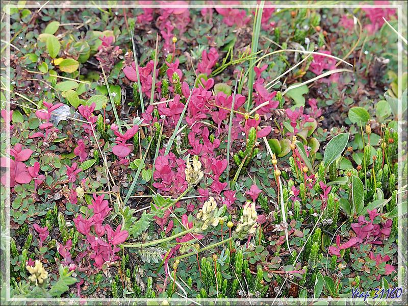 Couleur d'automne : Myrtille des marais, Myrtillier arctique, Arctic blueberry (Vaccinium uliginosum) - Pond Inlet - Baffin Island - Nunavut - Canada