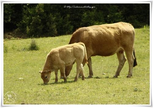 Vaches et veaux d'Aubrac