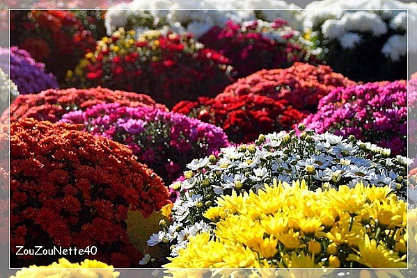 CHRYSANTHEME-N--1-.jpg