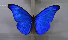 """Résultat de recherche d'images pour """"papillon bleu eblouissant image"""""""