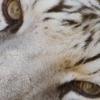 tigre bandeau