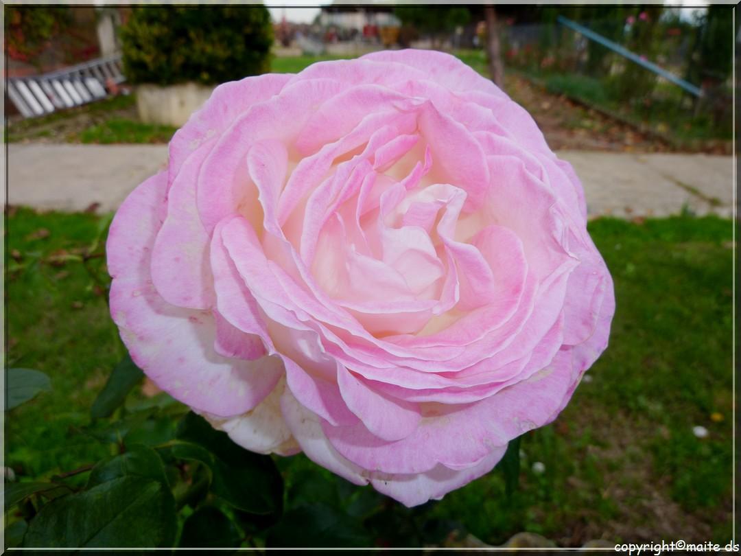 Cette rose est pour Jacques