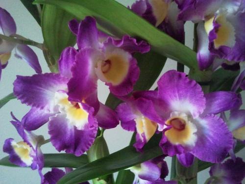 Mon Dendrobium en pleine floraison