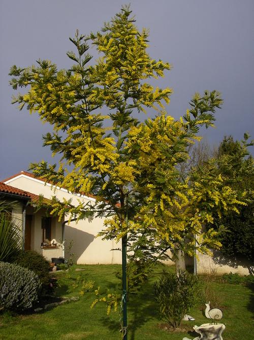 mon petit mimosa a bien grandi