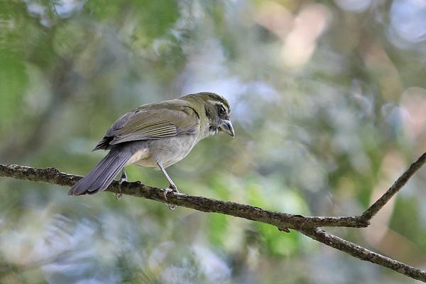 Saltator gros-bec - Jardin des colibris