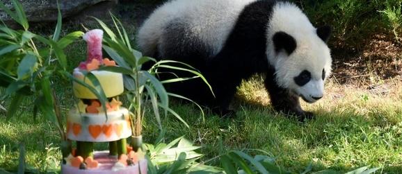 bébé panda ...