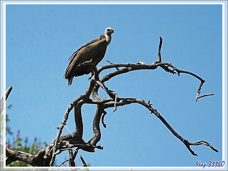 Vautour africain, White-backed Vulture (Gyps africanus) - Safari nautique - Parc National de Chobe - Botswana