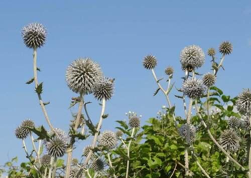 Fleurs cultivées : Echinops