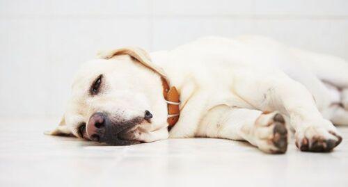 Un virus FATAL La parvovirose des chiens