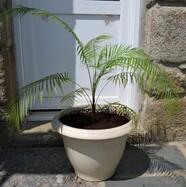 Lytocaryum weeddelliamum n°4