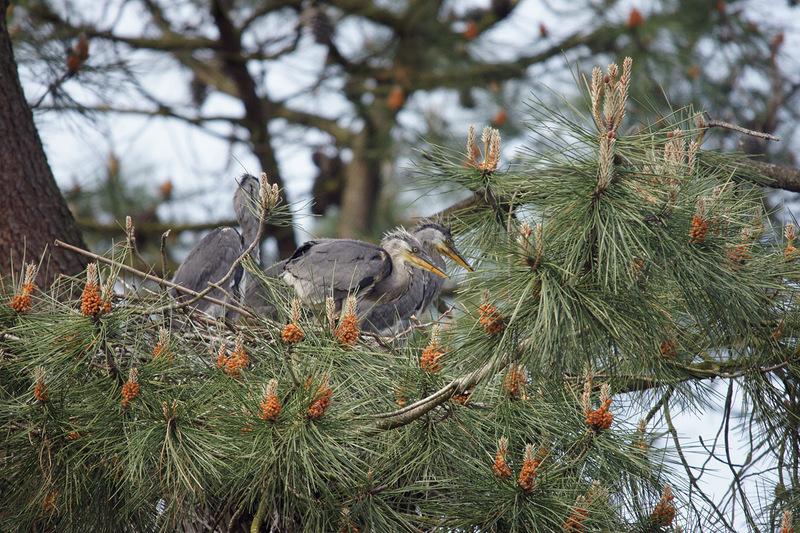 hérons cendrée au nid