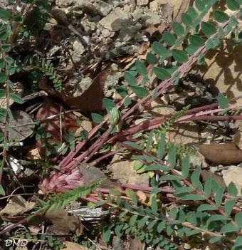 Astragalus monspessulanus - astragale de Montpellier