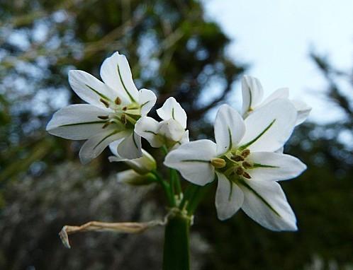 Ail-blanc--25-03-2010-082.jpg