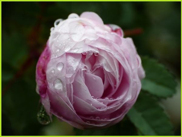 """""""Pompon rose"""""""