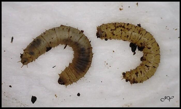 larves de Bibionidae.