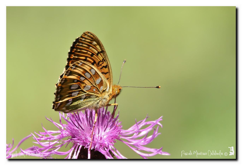 Grand nacré (Argynnis aglaja, synonyme Speyeria aglaja)