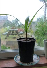 beccariophoenix Alfredii (palme de noix de coco du haut plateau)