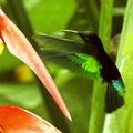 """Balisier """"pendula"""" - La joie des colibris - par Caro"""