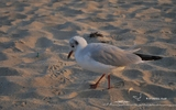 Mouette rieuse - p6
