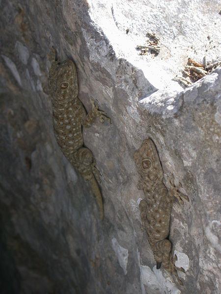 450px-Ptyodactylus guttatus 1