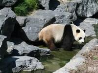 "XING HUI ""Etoile scintillante"" (panda mâle) : Pairi Daiza le 19 mai 2014"