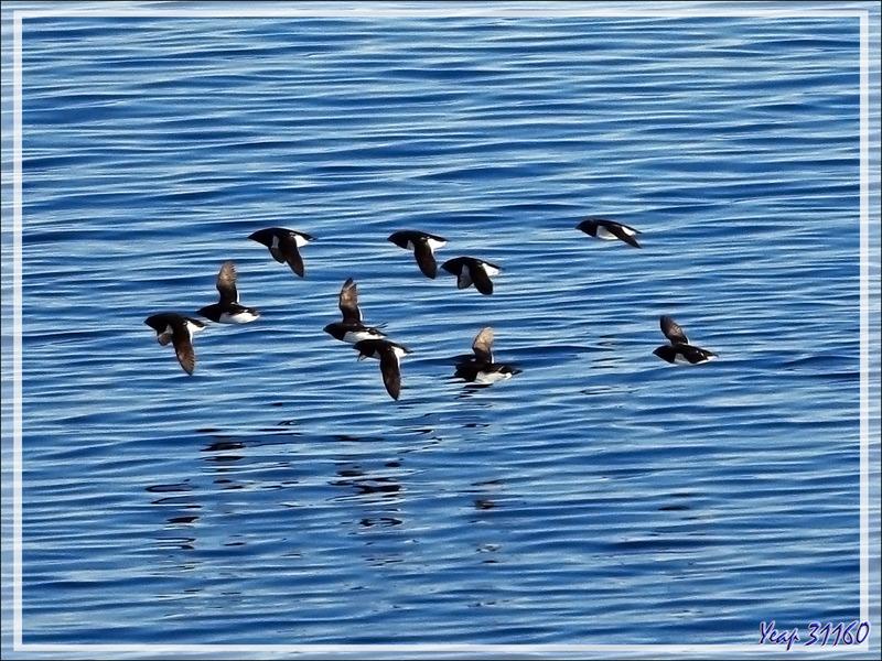 Le vol des Mergules nains, Little auk (Alle alle) - Navigation vers le Groenland - Mer de Baffin