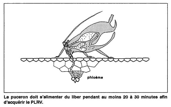 Puceron