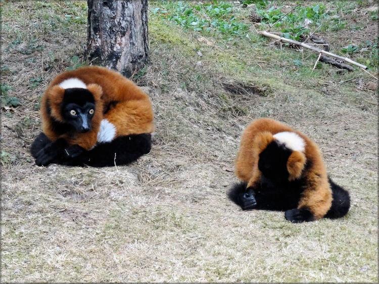Photo de Vari roux - Zoo de la Boissière du Doré