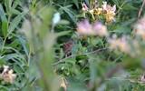 Campagnol roussâtre - p314