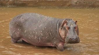 La crotte d'hippopotame ...