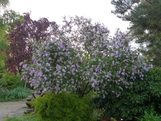 Syringa macrophylla superba