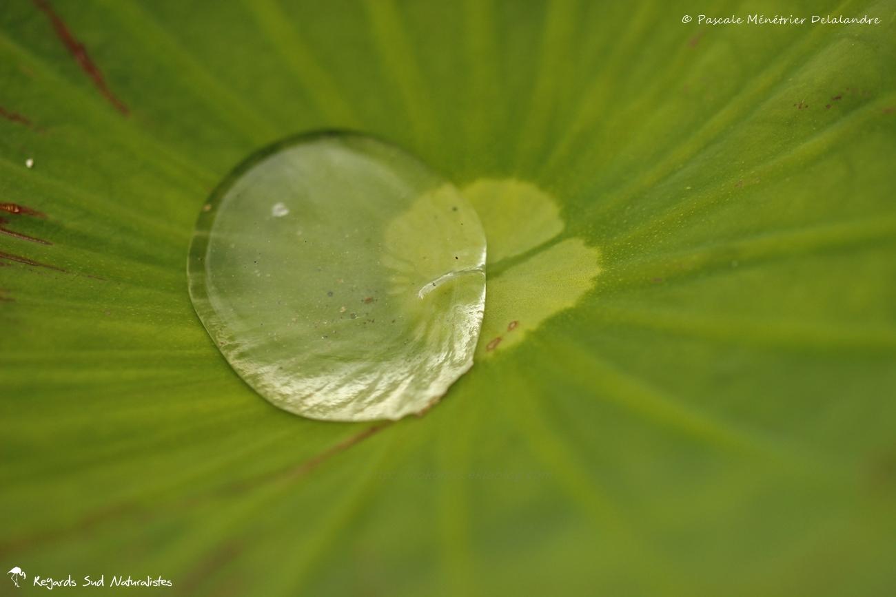 Feuilles et boutons de Lotus sacrés