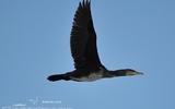 Grand cormoran - p121