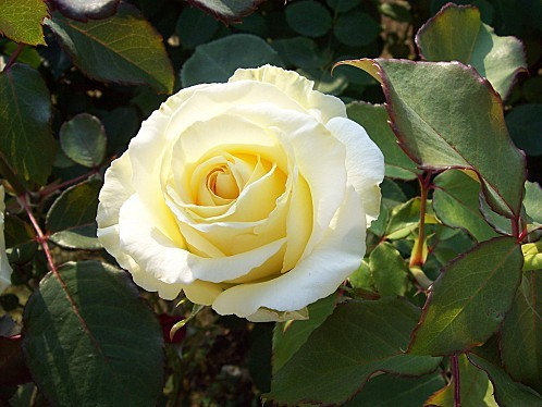 rose jaune 64