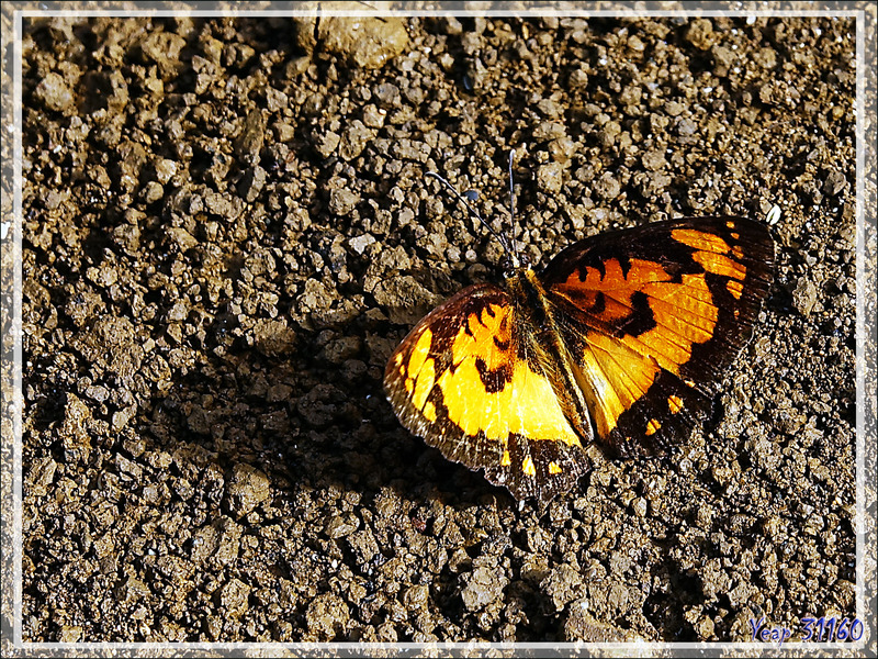 "Papillon ""Common joker"" (Byblia anvatara acheloia) - Nosy Be - Madagascar"