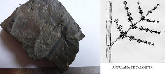 A. 98 annularia