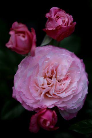 Les Roses de Warren : Solance