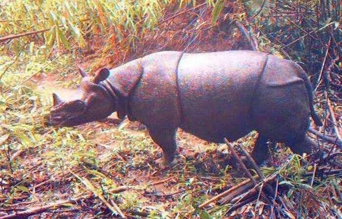 Indonésie : Deux bébés rhinocéros de Java, espèce en voie d'extinction, repérés dans un parc indonésien
