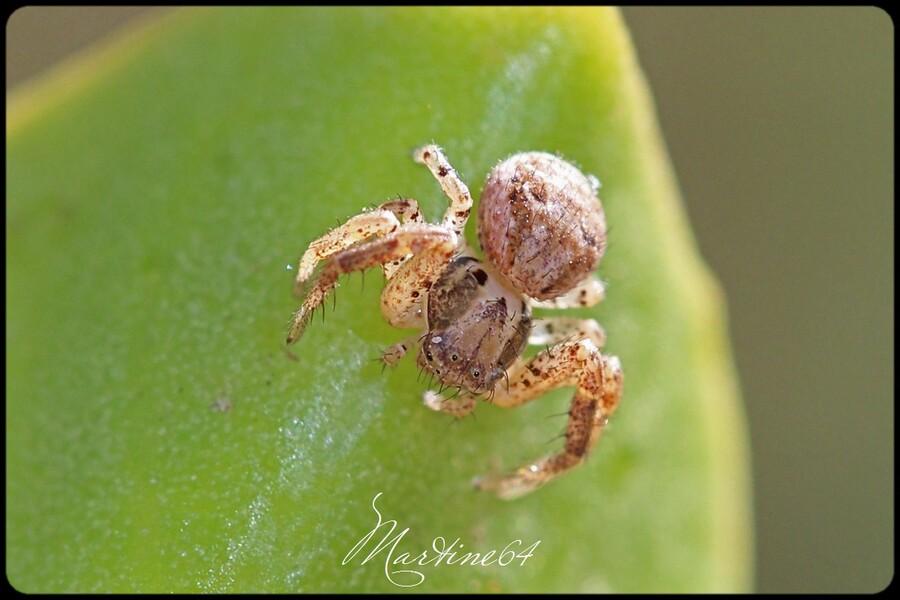 Araignée : Xysticus