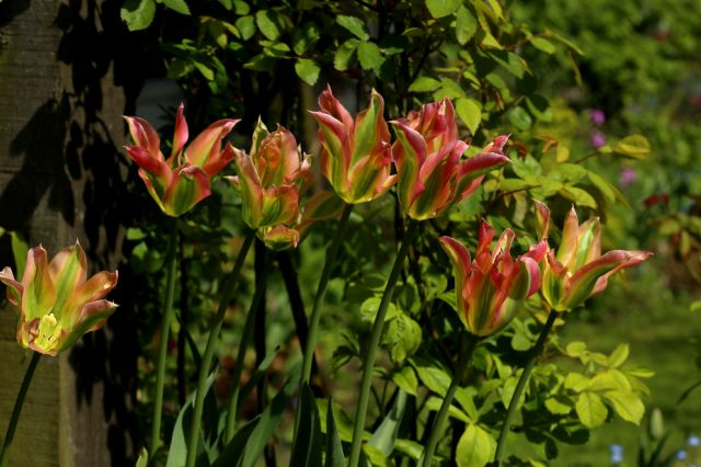 Tulipes 2016 : viridiflora Florosa