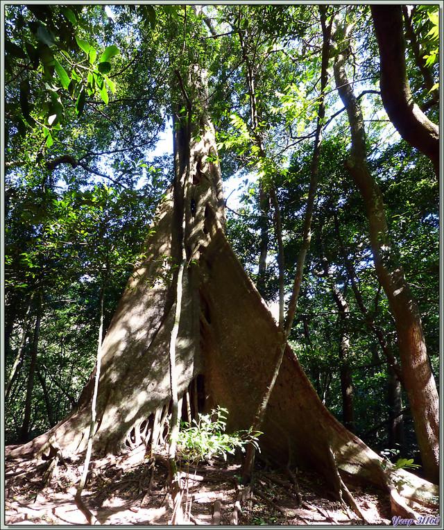 Blog de images-du-pays-des-ours : Images du Pays des Ours (et d'ailleurs ...), Arbre remarquable dans la forêt humide (rain forest) - Rincon de la Vieja - Costa -Rica
