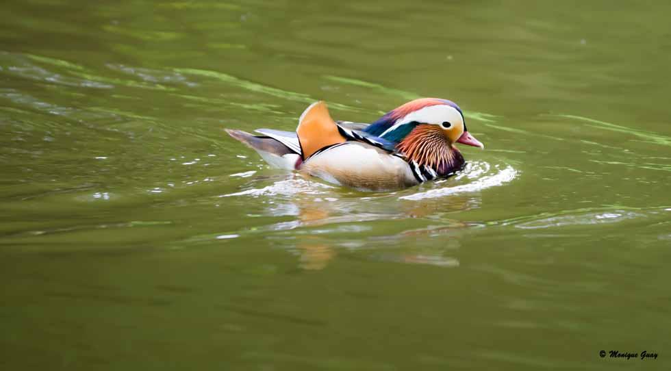 Canard mandarin mâle