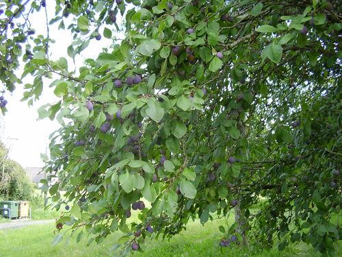 Défi n° 216 : fruits sur l'arbre ou en plateau